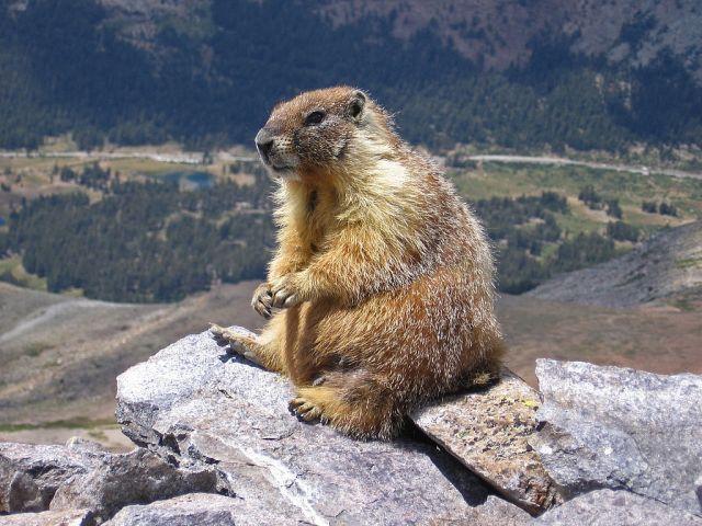 1024px-Marmot-edit1.jpg